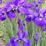 RECEIVE the iris_BellaPetite.com