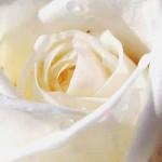 white-rose-picture_bellapetite.com